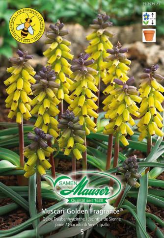 Muscari Golden Fragrance®, Traubenhyazinthe, 5 Zwiebeln