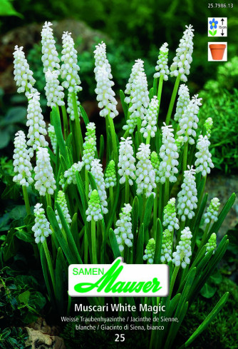 Muscari White Magic, Traubenhyazinthe, 25 Zwiebeln