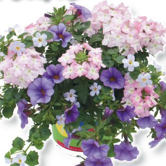 Trixi 'Blueberry Parfait'