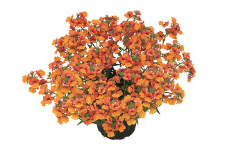Nemesia Sunsatia Orange