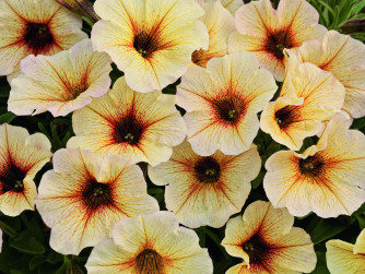 Petunia x Calibrachoa Beautical French Vanilla