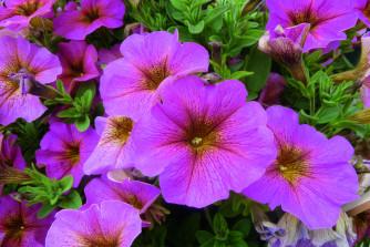 Petunia x Calibrachoa Beautical Sunray Pink