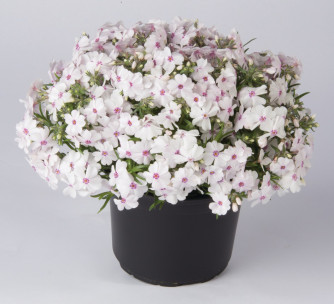 Polsterphlox Amazing Grace