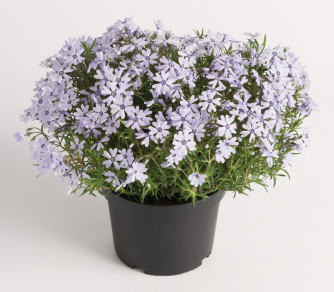Polsterphlox 'Emerald Cushion Blue'