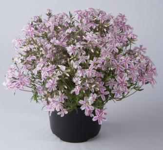 Polsterphlox Kimono Pink-White