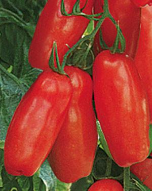 San-Marzano-Tomate 'Tuma Red'