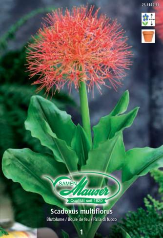 Scadoxus multiflors Blutblume