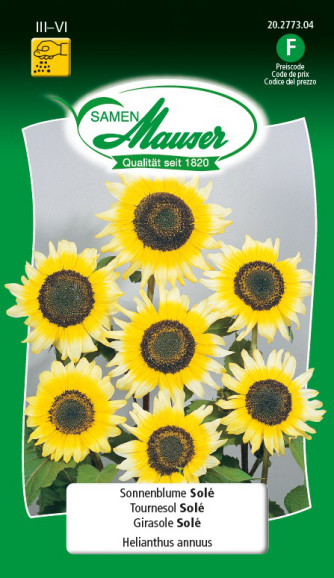 Sonnenblume Solé