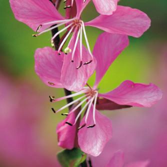 Steppenkerze 'Belleza Dark Pink' – Gaura lindheimeri