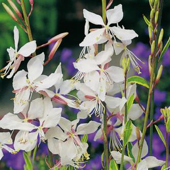 Steppenkerze 'Belleza White' – Gaura lindheimeri