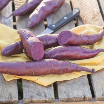 Süsskartoffel 'Erato Purple'®