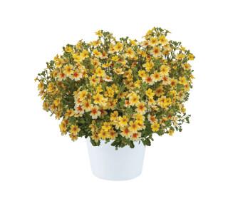 Sutera (Bacopa) Goldstar Jamesbrittenia