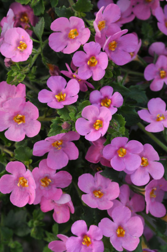 Sutera (Bacopa) pink