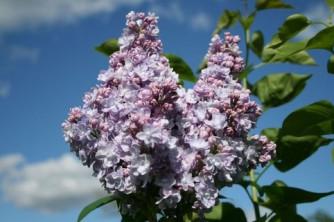 Syringa vulgaris 'Michel Buchner'