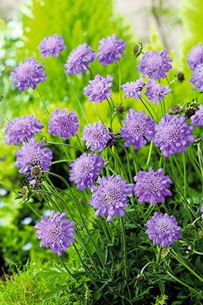 Tauben-Skabiose 'Butterfly Blue'
