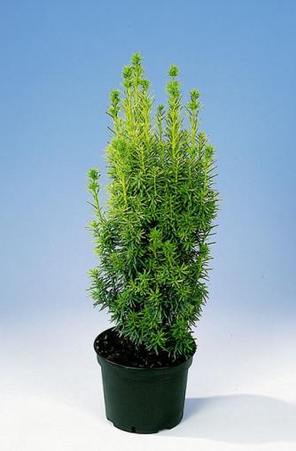 Taxus baccata 'David' / gelbe Säuleneibe