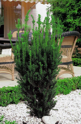 Taxus media 'Hillii' - sans baies