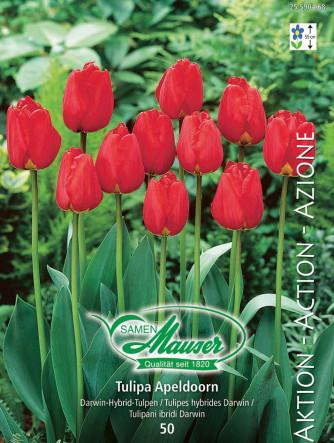 Tulpe Apeldoorn, Aktion, 50 Zwiebeln