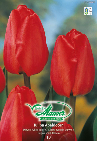 Apeldoorn, Darwin-Hybrid-Tulpe, 10 Zwiebeln