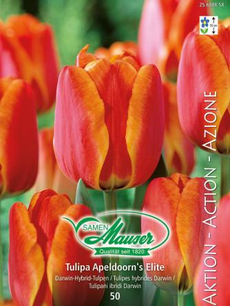 Tulpe Apeldoorn's Elite, Aktion, 50 Zwiebeln