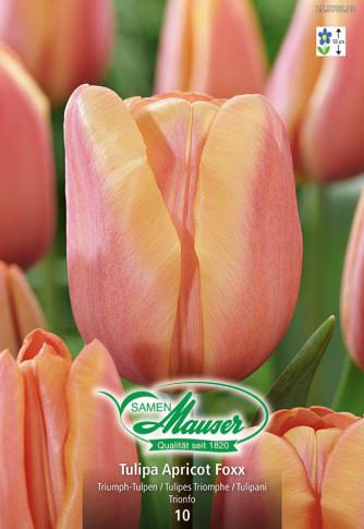 Apricot Foxx, Triumph-Tulpe, 10 Zwiebeln