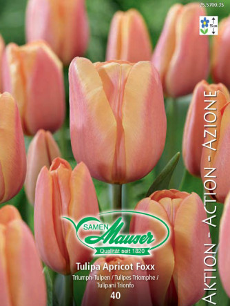 Tulpe Apricot Foxx, Aktion, 50 Zwiebeln