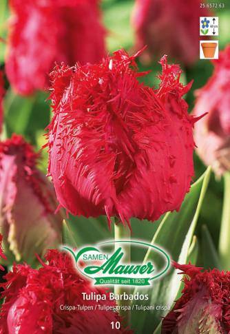 Barbados, Crispa-Tulpe, 10 Zwiebeln