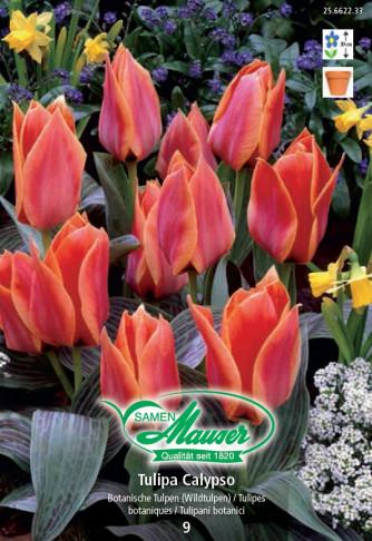 Calypso, Greigii-Tulpe, 10 Zwiebeln