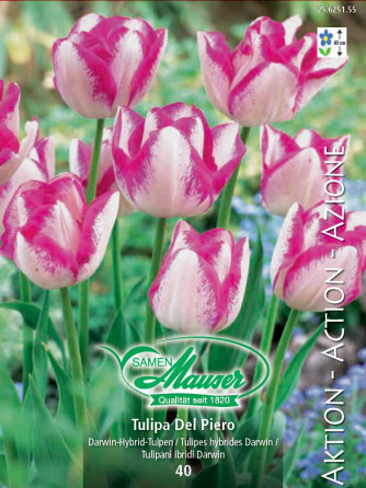 Del Piero, Darwin-Hybrid-Tulpe, 50 Zwiebeln