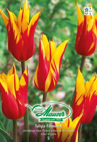 Firework, Lilienblütige Tulpe, 10 Zwiebeln
