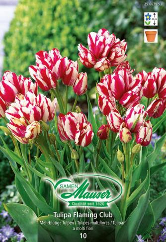 Flaming Club, Bouquet-Tulpe, 10 Zwiebeln