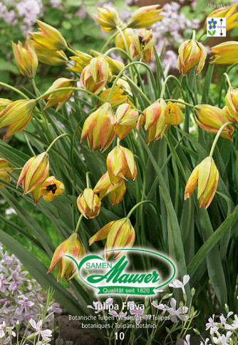 Flava,  Botanische Tulpe, 10 Zwiebeln