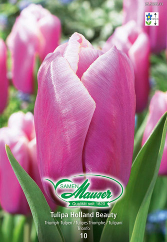 Holland Beauty, Triumph Tulpe, 10 Zwiebel