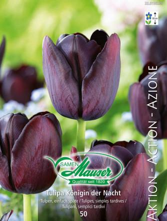 Tulpe Königin der Nacht, Aktion, 50 Zwiebeln