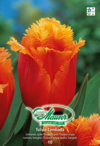 Lambada, Crispa-Tulpe, 10 Zwiebeln