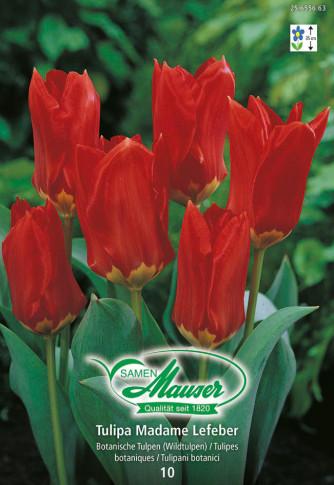 Mme Lefeber, Fosteriana-Tulpe, 10 Zwiebeln