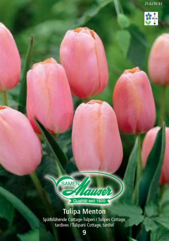 Menton, späte Tulpe, 10 Zwiebeln