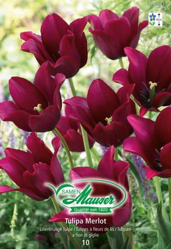 Merlot, Lilienblütige Tulpe, 10 Zwiebeln