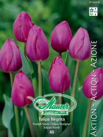 Tulpe Negrita, Aktion, 50 Zwiebeln
