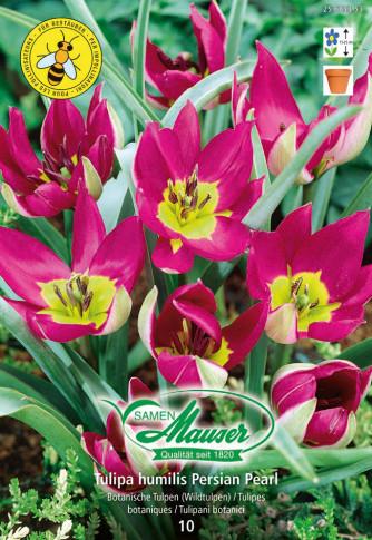 humilis Persian Pearl, Tulipe sauvage, 10 bulbes