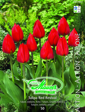 Red Revival Frühe Tulpe, Aktion 50 Zwiebeln