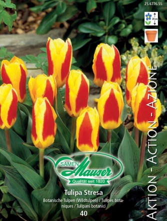 Tulpe Stresa, Aktion, 50 Zwiebeln