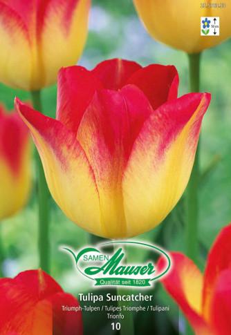 Suncatcher, Triumph-Tulpe, 10 Zwiebeln