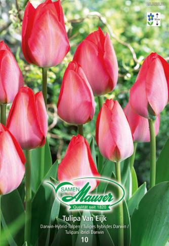 Van Eijk, Darwin-Hybrid-Tulpe, 10 Zwiebeln