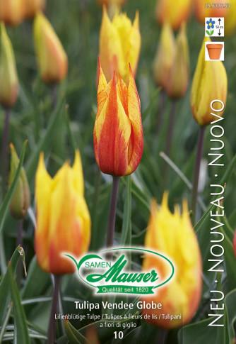Vendee Globe, Lilienblütige Tulpe, 10 Zwiebeln