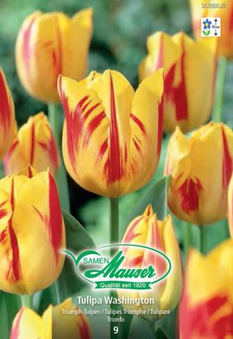 Washington, Triumph Tulpe, 10 Zwiebeln