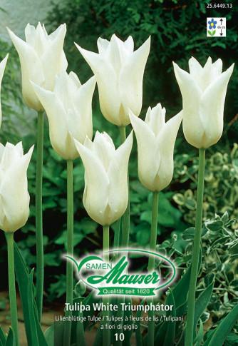 White Triumphator, Lilienblütige Tulpe, 10 Zwiebeln