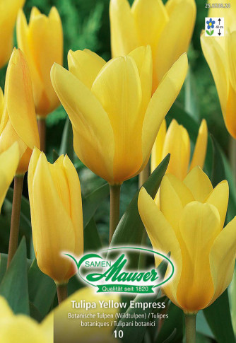 Yellow Empress, Fosteriana-Tulpe, 10 Zwiebeln