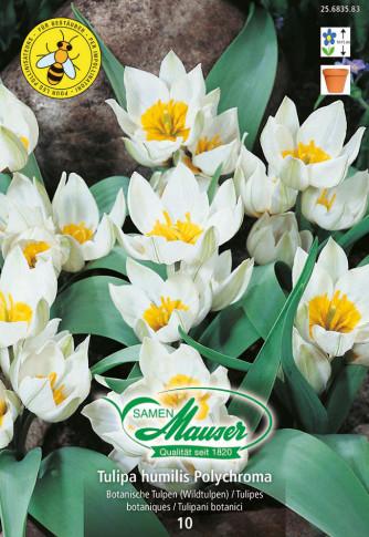 Polychroma, Botanische Tulpe, 10 Zwiebeln