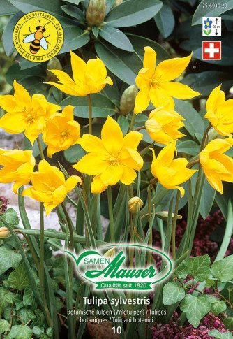 Tulipa sylvestris, 10 Zwiebeln
